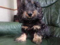 Dachshund longhair pup