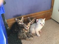 3 X Top Quality Pedigree Bengal Kittens For Sale
