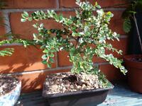 Very pretty Bonsai Cotoneaster