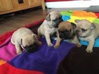 4 beautiful French bulldog puppies