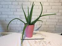 Plants Aloe Vera