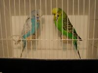 Adult Budgies for sale.