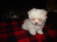 Beautiful Pedigree Maltese Pup 1 boy. For Sale.