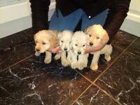 Labradoodle puppy's