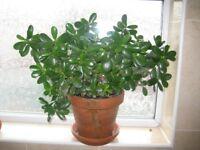 50% OFF! mature healthy multi stemmed succulent Money / Jade plant (Crassula ovata) indoor plant