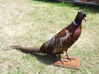 Beautiful French Stuffed Taxidermy Pheasant