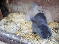 baby lionhead/lop bunnies for sale