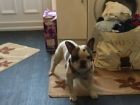 French bulldog male 12 months Kc registered