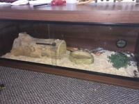 2 corn snakes and full set up