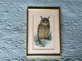 Arabian Spotted Eagle Owl (Bubo milesi) picture / litho print Hanhart imprint