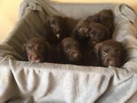 Cocker Spaniel Chocolate Puppies