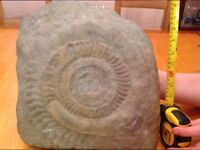 Fossil / ammonite, very large