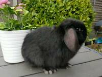 Black mini lop baby rabbit