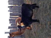 Cashmere Billy Goat and 2 Male Alpacas for Sale