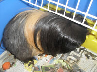MALE PERUVIAN GUINEA PIG COMPLETE WITH CAGE