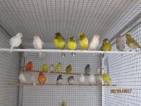 Canaries for sale, this years young and year old ones £15 each