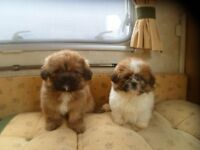 Shihtzu puppies