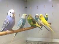 Best Budgies for sale.