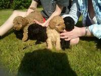 Male poodle pups for sale. 10 weeks old.