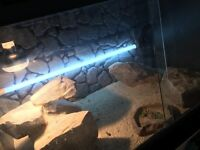 Egyptian uromastyx and vivarium for sell
