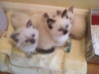 Ragdollx kittens