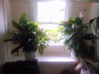 Two extra large peace lily house plants for sale
