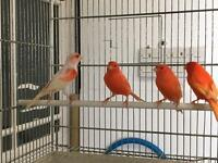 Red factor canaries for sale