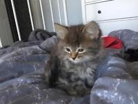 Kittens: 2 females left