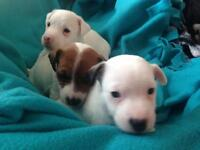 Adorable healthy Jack Russell pups