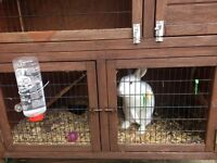 White rabbit for sale