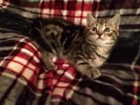 Female Kitten Tilly