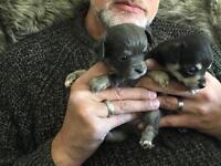 Chihuahua puppies!