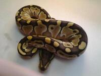 Royal python 2016