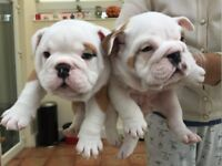 READY NOW British bulldog pups kc reg