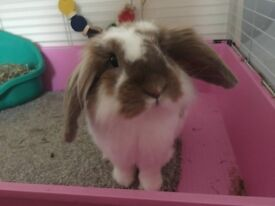 Lop boy rabbit very friendly with cage