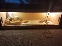 4 bearded dragons with vivarium