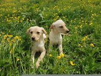 Labradore puppies