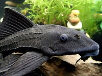 """Bargain"" Common Plec"