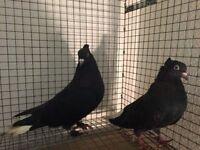 Pair of iranian tumbler hens.