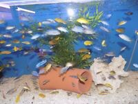 Malawi cichlids for sale (free food offer)