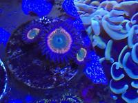 3 heads of sunny d zoas for marine fish coral aquariums