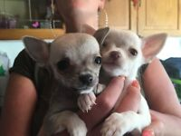 chi pups