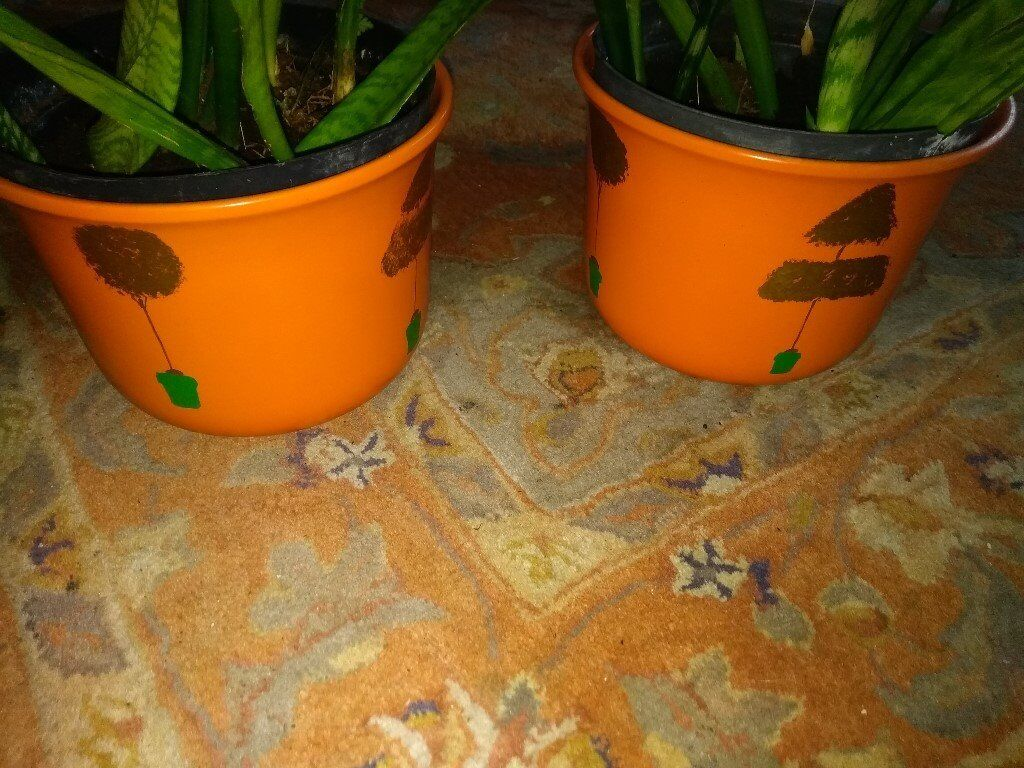 Indoor Plants for Sale | in Cheadle Hulme, Manchester | Gumtree on peppermint tree plant, cycad plant, reed plant, foxfire plant, gazania plant, no light indoor plant, lotus plant, google plant, hickory plant, garland plant, amazon plant, miracle fruit plant, king plant, arcadia plant, violet flower plant, eagle plant, yucca plant, ebay plant, mulberry plant, fig plant,