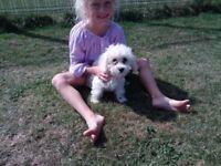 cavapoo puppies 12 weeks old 1 girls