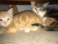 Tabby kitten, black and white kitten ready for new home female cat