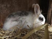 Male Lion Head Lop Rabbit