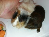 Pair baby Male Guinea Pigs- brothers (8 weeks old)
