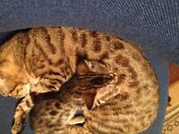 Bengal kittens pedigree TICA registered beautiful deposits taken