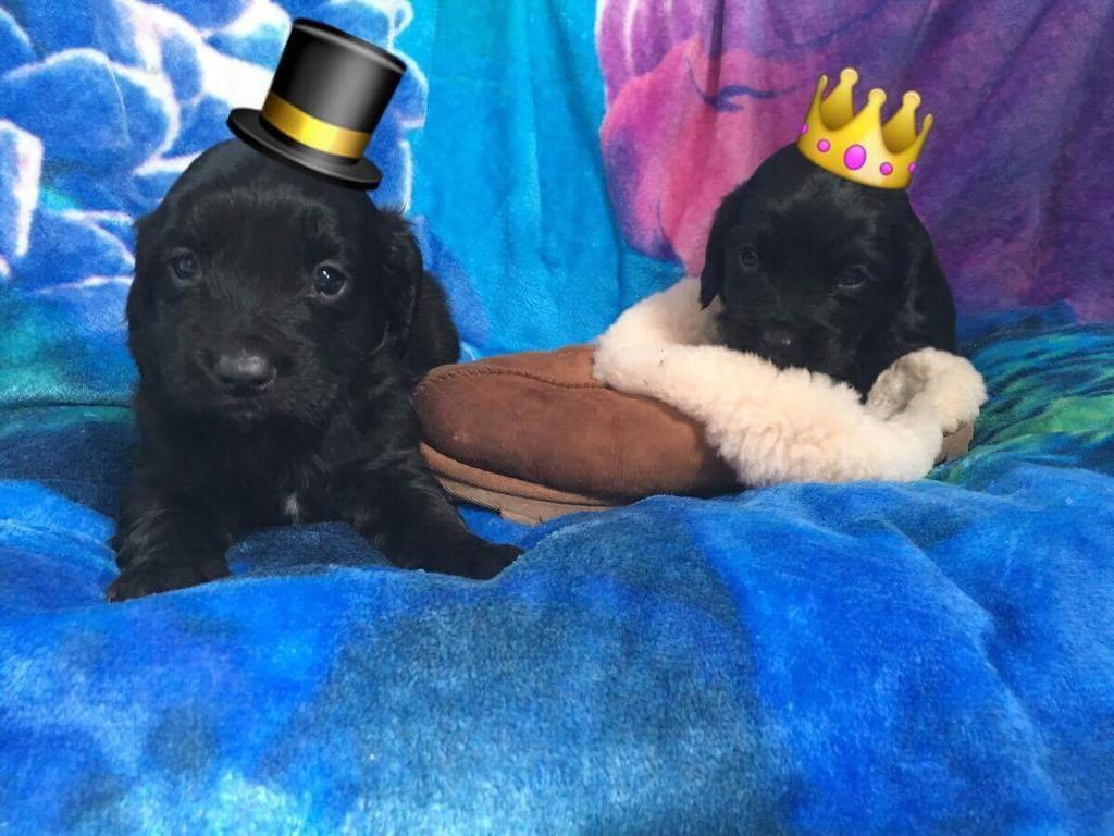 Cocker spaniels puppies girls and boys for sale
