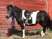 12.2hh Shetland x cob 2nd pony
